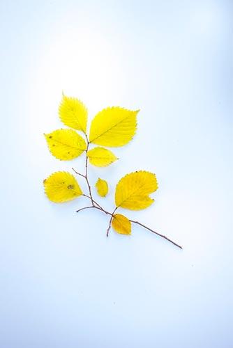 feuilles-jaunes
